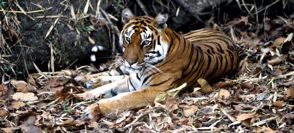 Especie extincion tigre ONU-John Isaac