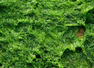 algas verdes mar