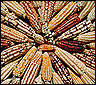 maiz-transgenico1.jpg