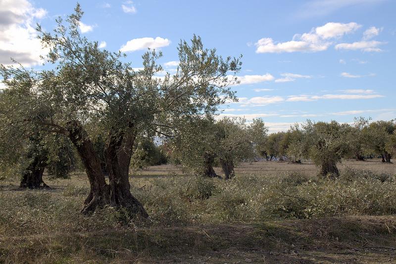 olivo-plantacion