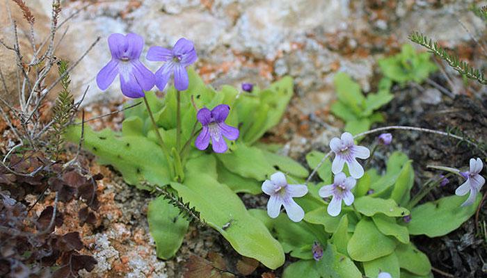 planta-carnivora-esp